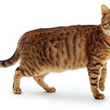 Brown spotted Bengal cat