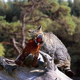 Wild cat with pheasant in Scotland