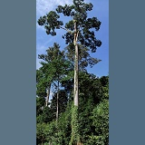 Borneo rainforest tree