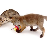 Fox and kitten disputing over toy