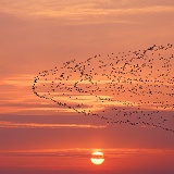 Lesser Flamingos migrating at sunset