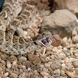 Puff adder with its mouth open