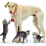 Saluki Lurcher with kittens