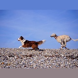 Dogs running on a shingle beach