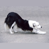 Border Collie dog stretching