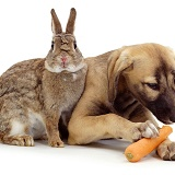 Puppy eating a rabbit's carrot