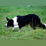Border Collie stalking sheep