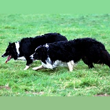 Border Collie pair stalking sheep