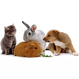 Rabbit, Guinea pig, puppy kitten pet animal group