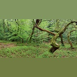 Oak & Beech woods panorama