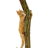 Ginger cat climbing