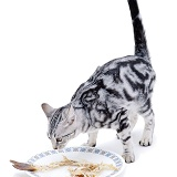 Cat with dinner plate
