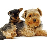 Yorkshire Terrier with pup