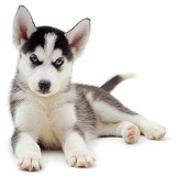 Siberian Husky pup, 6 weeks old, lying with head up