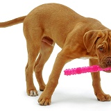 Dogue de Bordeaux with plastic toy