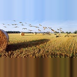 Geese & roly-poly bales panoramic view