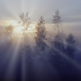 Mist at sunrise with birches and pines