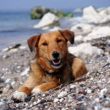 Dog on a pebbly beach