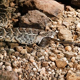 Puff adder swallowing a grass rat