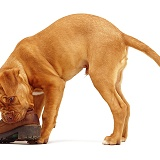 Dogue de Bordeaux chewing a shoe