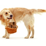 Retriever with kittens in a basket