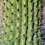Organ pipe cactus spines