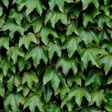 Boston Ivy leaves