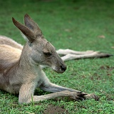 Eastern Grey Kangaroo, on haunches