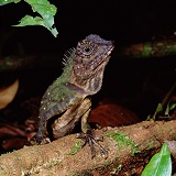 Rainforest lizard