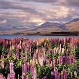 'Feral' lupines with mountain backdrop