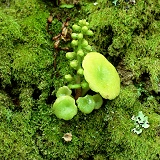 Pennywort on moss