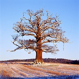 Ockley Oak - Winter 2000