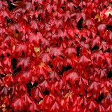 Autumnal Boston Ivy leaves