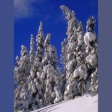 Snow on conifers in Manning Park