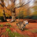 Dogs chasing through the New Forest