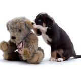 Teddy bear & Border Collie puppy