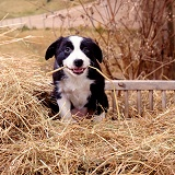 Border Collie puppy in straw