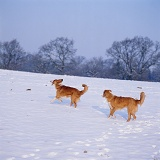 Border Collies playing in snow