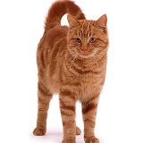 Ginger tom cat