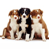 Trio of Border Collie pups