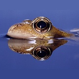 Common frog, surfacing
