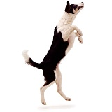 Black-and-white Border Collie jumping up