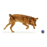 Brown dog chasing a ball