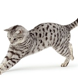 British Silver Spotted male cat pouncing