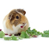 Guinea pig eating leaves