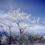 Rime covered tree