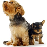Yorkshire Terrier and pup