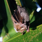 Mother tent bat with baby