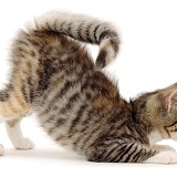 Kitten in play-bow