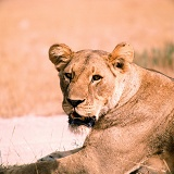 Lioness lounging